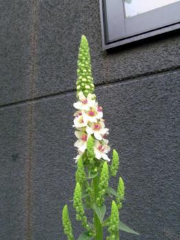 バーバスカム 開花