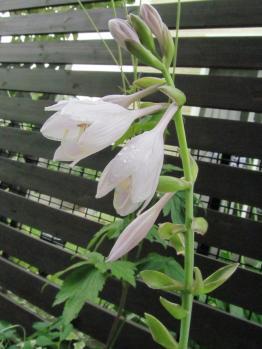 ギボウシ フレグラントブーケ 開花