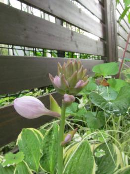 ギボウシ ワイドブリム 開花