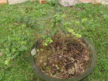 ティアレラとシレネとロニセラの寄せ植えだったもの