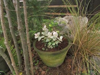 初雪カズラとロニセラの寄せ植え
