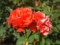 2014-09-21薔薇-068