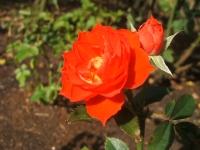 2014-09-21薔薇-067