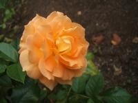 2014-09-21薔薇-051