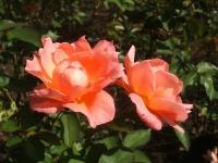 2014-09-21薔薇-073