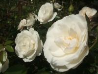 2014-09-21薔薇-078