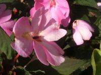 2014-09-21薔薇-086