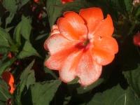2014-09-21薔薇-090