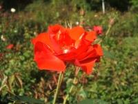 2014-09-21薔薇-098