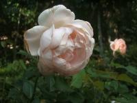 2014-09-21薔薇-104