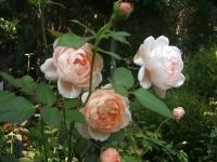 2014-09-21薔薇-105