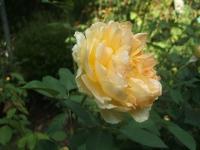 2014-09-21薔薇-106