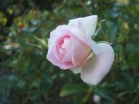 2014-09-21薔薇-116