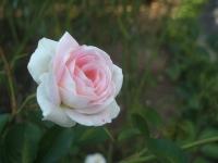 2014-09-21薔薇-115