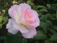 2014-09-21薔薇-112