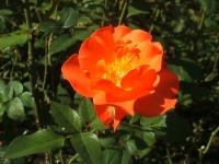 2014-09-21薔薇-118