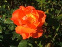 2014-09-21薔薇-119