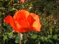 2014-09-21薔薇-117