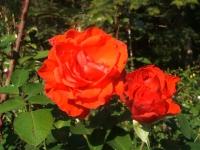 2014-09-21薔薇-123