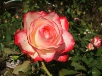 2014-09-21薔薇-133