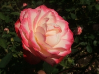 2014-09-21薔薇-130