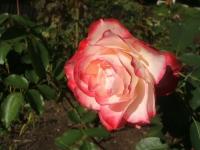 2014-09-21薔薇-131