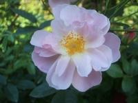 2014-09-21薔薇-129