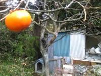 柿とコンテナ裏畑1424