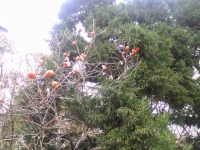 柿とコンテナ裏畑1421