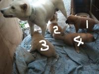 シロの子犬達023(2)