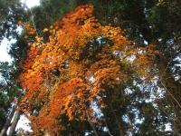 中尊寺リハビリの菊祭り&紅葉2014-11-10-011