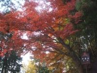 中尊寺リハビリの菊祭り&紅葉2014-11-10-007
