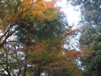 中尊寺リハビリの菊祭り&紅葉2014-11-10-010