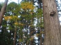 中尊寺リハビリの菊祭り&紅葉2014-11-10-013