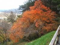 中尊寺リハビリの菊祭り&紅葉2014-11-10-033