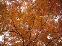 中尊寺リハビリの菊祭り&紅葉2014-11-10-051