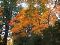 中尊寺リハビリの菊祭り&紅葉2014-11-10-048