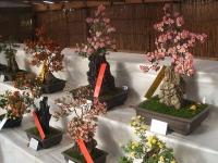 中尊寺リハビリの菊祭り&紅葉2014-11-10-057