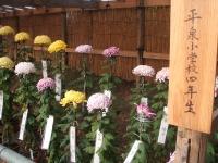 中尊寺リハビリの菊祭り&紅葉2014-11-10-056