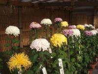 中尊寺リハビリの菊祭り&紅葉2014-11-10-055