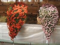 中尊寺リハビリの菊祭り&紅葉2014-11-10-062