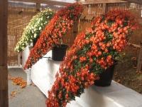 中尊寺リハビリの菊祭り&紅葉2014-11-10-061