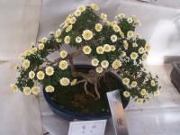 中尊寺リハビリの菊祭り&紅葉2014-11-10-060