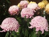 中尊寺リハビリの菊祭り&紅葉2014-11-10-066