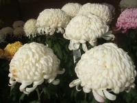 中尊寺リハビリの菊祭り&紅葉2014-11-10-070