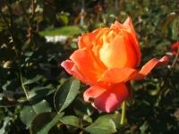 2014-09-21薔薇-141