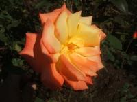 2014-09-21薔薇-140