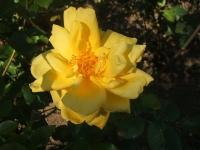 2014-09-21薔薇-135