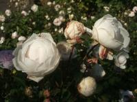 2014-09-21薔薇-146