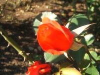 2014-09-21薔薇-144